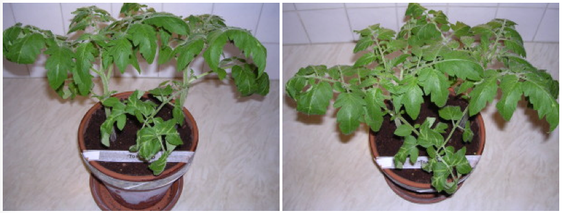 Image showing Cherry Tomato plants which have been grown under LED grow lighting. Picture taken on day 29
