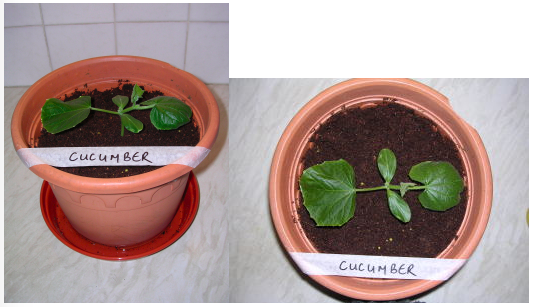 Image showing Cucumber plant growth under LED grow lighting on day 0 (i.e. when seedlings were repotted into larger pots)