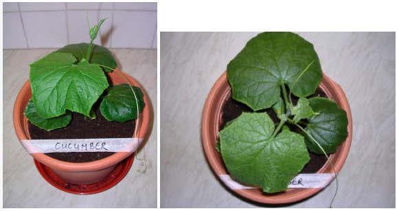 Image showing Cucumber plant growth under LED grow lighting on day 14