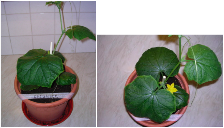 Image showing Cucumber plant growth under LED grow lighting on day 21