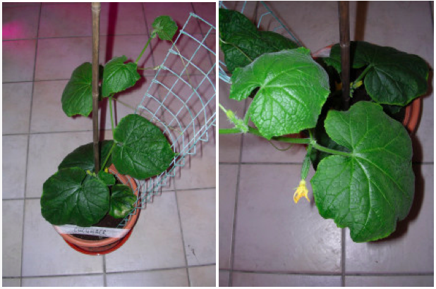 Image showing Cucumber plant growth under LED grow lighting on day 29