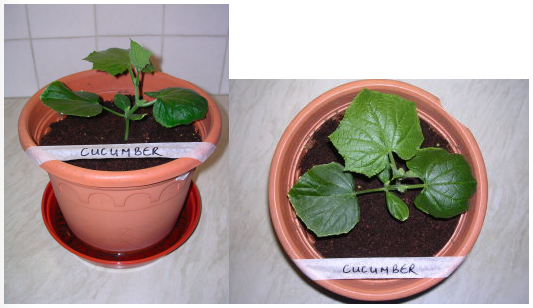 Image showing Cucumber plant growth under LED grow lighting on day 7
