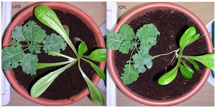 Image showing Lettuce and Kale growth under LED versus CFL grow lighting on day 15