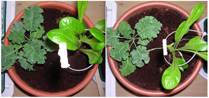 Image showing Lettuce and Kale growth under LED versus CFL grow lighting on day 21