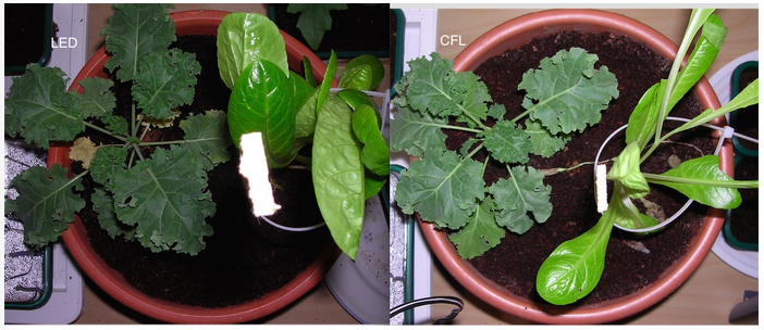 Image showing Lettuce and Kale growth under LED versus CFL grow lighting on day 29