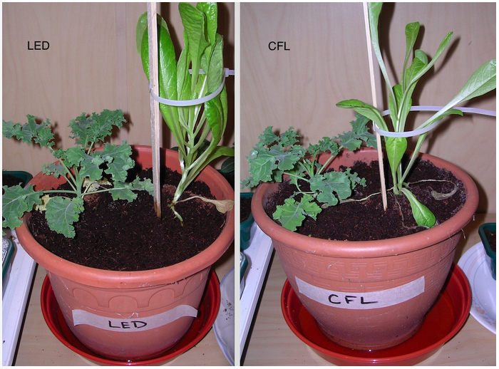 Image showing Lettuce and Kale growth under LED versus CFL grow lighting on day 29 (picture taken from a lower angle)