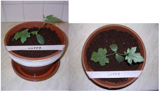 Image showing Luffa plant growth under LED grow lighting on day 0 (i.e. when seedling was repotted into a larger pot)