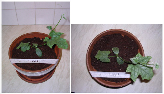 Image showing Luffa plant growth under LED grow lighting on day 14