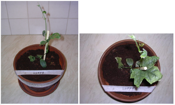 Image showing Luffa plant growth under LED grow lighting on day 21