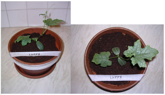 Image showing Luffa plant growth under LED grow lighting on day 7